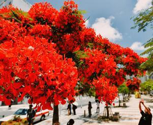 青空の下、鮮やかな赤い花を咲かせるホウオウボク=22日、那覇市安里(田嶋正雄撮影)