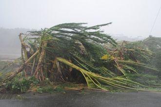 台風18号の強風で折れ曲がったバナナの木=13日午後3時28分、宮古島市平良