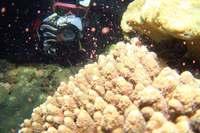 ダイバー感激!「次世代へ命つなぐ」 沖縄でサンゴが産卵 ピンクの卵、一斉に海へ<br />