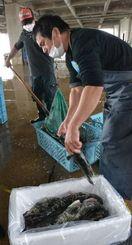 シンガポールに出荷するヤイトハタの箱詰めに追われる八重山漁協の職員=石垣市新栄町、同漁協