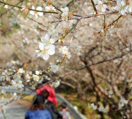 甘い香りを漂わせ、かれんに咲き誇る梅の花=12日、名護市源河