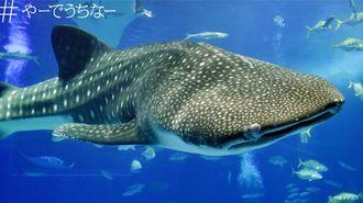 「#やーでうちなー」プロジェクトで提供する沖縄美ら海水族館のジンベエザメの写真
