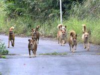 ヤンバルクイナ襲う野犬、観光客も被害 沖縄北部「ペット捨てないで」