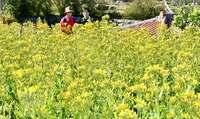 花言葉は「幸福を告げる」 リュウキュウベンケイソウ、沖縄・本部町で満開