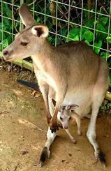 母カンガルー「弥生」から誕生した赤ちゃんカンガルー(沖縄こどもの国提供)