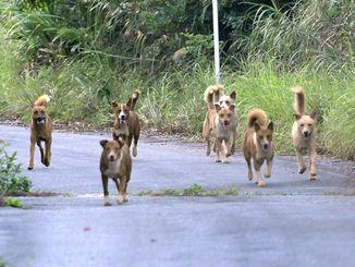 (資料写真)沖縄北部「やんばる」の林道を徘徊する野犬の群れ=2016年6月撮影