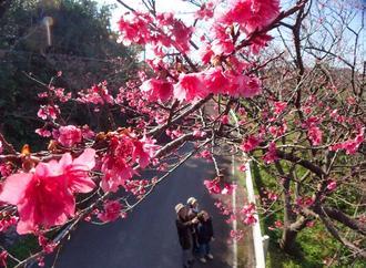 ピンク色の花を咲かせ始めた八重岳のヒカンザクラ=15日午後、本部町(金城健太撮影)