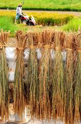 二期作米を収穫する農家=10日、金武町伊芸(喜屋武綾菜撮影)