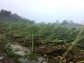 台風18号の強風で倒れたサトウキビ=13日午後4時50分、宮古島市城辺