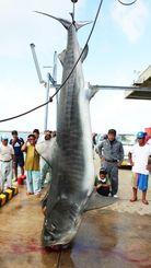大きなサメに見入る市民ら=石垣市新栄町・八重山漁協