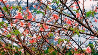 10月に開花したヒカンザクラ=22日、名護市稲嶺