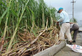 強風により倒れたサトウキビの後片付けを行う住民=4日午前、糸満市米須