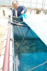 出荷直前のスッポンをチェックするオキハムの長濱徳松会長=読谷村、同社の養殖場