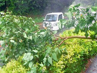 暴風で幹が折れ、道路の片側をふさいだ樹木=24日午前10時42分、久米島町山城(国吉聡志撮影)