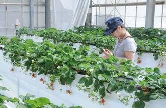 イチゴ狩りを楽しむ行楽客=15日、糸満市米須