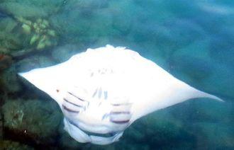 岸壁のすぐ下ででんぐり返しするナンヨウマンタ=8月31日、多良間村塩川の普天間港(羽地邦雄さん撮影)