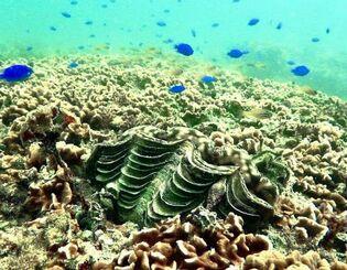 シコロサンゴの上部に生息する殻の長さ20センチ余のヒレシャコガイ(ダイビングチーム・レインボー提供)