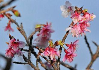 桃色の花を咲かせるヒカンザクラ=15日午後6時ごろ、那覇市・末吉公園(国吉聡志撮影)