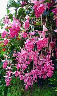 """アジサイよりお先に…ピンクの """"房"""" たわわ 沖縄・梅雨の人気スポットで見頃"""