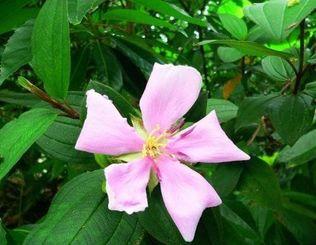 いち早くピンクの花を咲かせたノボタン=名護市旭川