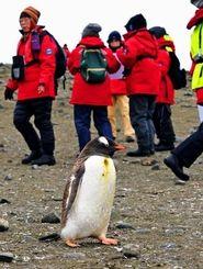 アイチョー島に上陸したツアー客の前を、ジェンツーペンギンが恐れる様子もなくヒョコヒョコと横切った