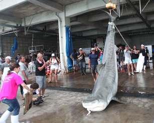 駆除されたサメが次々と運ばれた八重山漁協=石垣市・同漁協水揚げ場