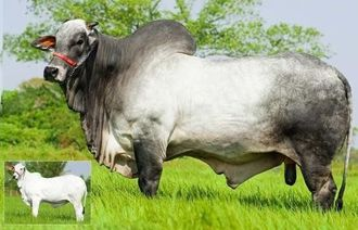 チャンピオンに輝いた雄牛アルファロ(写真左下はアルファロの子)
