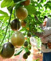 太陽の恵み 沖縄でたわわに実る パッションフルーツ出荷最盛期