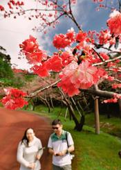 ピンク色の花がほころび始めたヒカンザクラ=19日午後、本部町・八重岳(金城健太撮影)