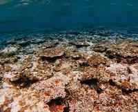沖縄・西表島のサンゴ激減 「被度」50%以上、全体の0.1%に