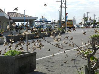 愛鳥ドライバーの好意で増えているスズメの群れ=石垣港離島ターミナル駐輪場付近