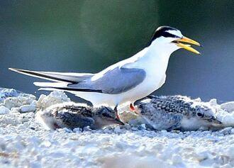 コアジサシの親鳥とひな=15日、本島南部(下地広也撮影)