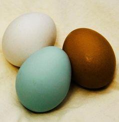 アローカナの卵(手前)。白玉、赤玉と比べると薄く青みがかっているのが分かる
