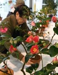 赤やピンクの愛らしい花が並ぶ全沖縄つばき展=13日、那覇市緑化センター