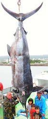 体重400キロ超とみられるカジキと、水揚げした南城市の漁師・國吉昌光さん(右奥)ら=28日、同市の馬天港