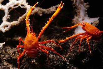 新種の「シマツノコシオリエビ」(沖縄美ら海水族館提供)