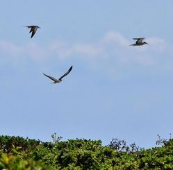 ナガンヌ島の上を飛ぶマミジロアジサシ=30日、渡嘉敷村