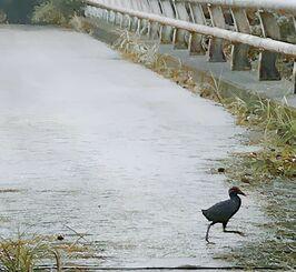 道路を走って横切るヤンバルクイナ=7月18日午前7時ごろ、国頭村