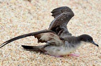 砂浜から助走をつけ海上へ飛び立つオナガミズナギドリ=29日、名護市港