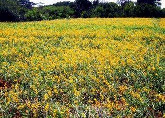 空港通りから見ることができるクロタラリアの花々=多良間村