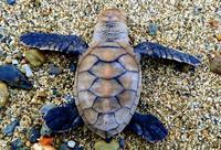 タイマイ産卵の北限を7.7キロ更新 沖縄・辺戸岬近くで確認 温暖化や個体数が増えた影響か