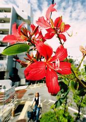 鮮やかなピンクの花を咲かせたアカバナハカマノキ=17日、那覇市楚辺(金城健太撮影)