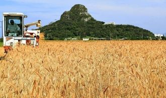 オリオンビールの新商品の原料に採用された江島神力の収穫風景=2015年3月、伊江村西江上区