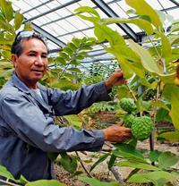 「冬の熱帯果樹」アテモヤ、沖縄でよりクリーミーに 8年かけ独自開発
