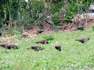 濃青緑などのよく見られるクジャクの群れ=いずれも3月、市白保の林地周辺