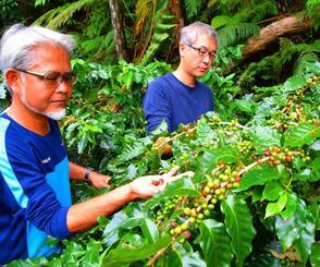 コーヒー豆を摘む中山コーヒー園の岸本さん(手前)とカフェ「gyutto」の森下さん=1日、名護市中山の「中山コーヒー園」