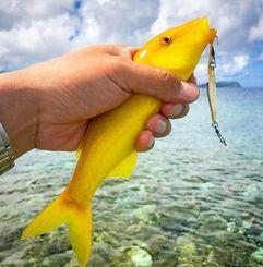 釣り上げた黄金のオジサン=8月30日、竹富町西表島