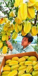 たわわに実ったスターフルーツを収穫する農家の男性=28日、南風原町神里(渡辺奈々撮影)