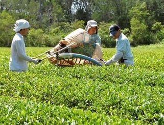 紅茶製造に適した品種「べにふうき」の一番茶を収穫する比嘉竜一さん(左)ら=15日、国頭村佐手