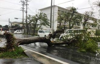 台風18号の強風で倒れ,車道をふさぐ街路樹=14日午後3時36分、宮古島市平良